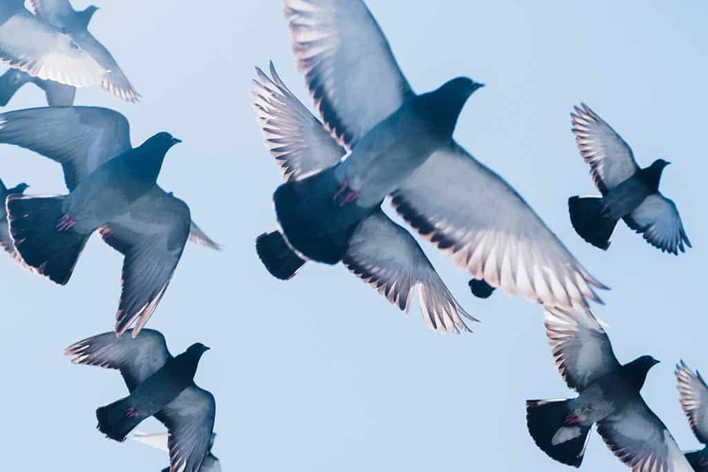 large fines for feeding pigeons in Bangkok introduced