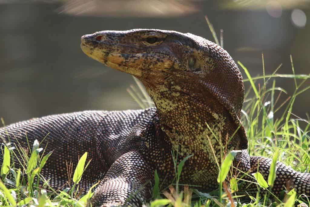 Resident Evil: The Monitor Lizards of Lumphini Park