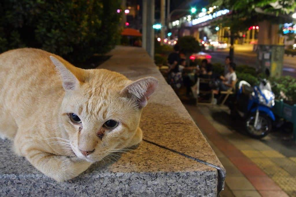 The Death and Resurrection of Asoke Cat, Thailand's First Celebrity Feline