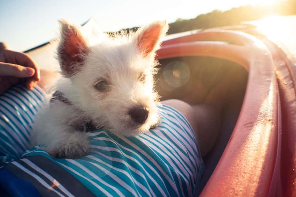 traveling with your Westie to Thailand